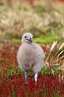 Falkland Skua (Catharacta antarctica). Steeple Jason island, Falkland Islands