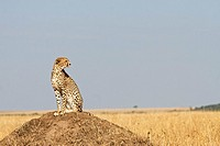A cheetah sits on top of a termite mound in Kenya