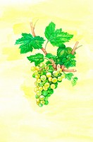Flower, Watercolor painting of grapes (thumbnail)