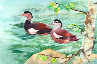 Animal, Watercolor painting of a pair of mandarin ducks swimming on water