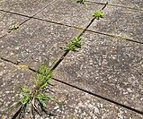 Common weeds growing in between paving slabs on a patio