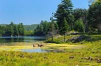 Wapiti grazing and wading in a Lake with group of wild boar piglets in foreground