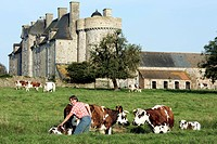 NORMANDY COW AND ITS CALF IN FRONT OF THE CHATEAU DE CROSVILLE_SUR_DOUVE, MANCHE 50, FRANCE