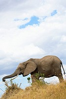 Elephant feeds on the plains of the Masai Mara