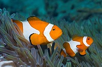 False clown anemonefish Amphiprion ocellaris in host anemone Misool, Raja Empat, West Papua, Indonesia