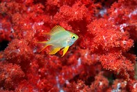 Golden damsel Amblyglyphidodon aureus swimming past soft corals  Andaman Sea, Thailand