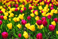 Field of colourful yellow and purple tulips
