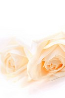 Macro of two delicate high key beige roses on white background