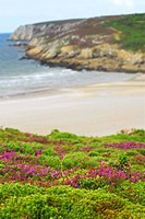 Heather blooming at Atlantic ocean coast in Brittany, France