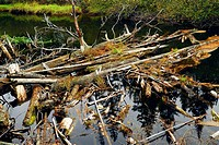 Driftwood in a forest river in Algonquin provincial park, Canada