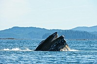 Humpaback Whale (Megaptera novaeangliae), Inside Passage, South West Alaska, USA