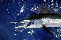 short_billed spearfish, Tetrapterus angustirostris, Kona, Big Island, Pacific Ocean, Hawaii, USA