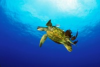 green sea turtle cleaned by convict tang, Chelonia Mydas, Kona, Big Island, Pacific Ocean, Hawaii, USA