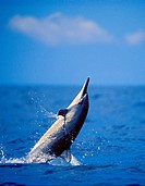 spinner dolphin calf leaping, Stenella longirostris, Kona, Big Island, Pacific Ocean, Hawaii, USA