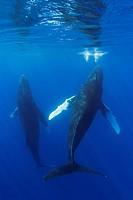 Humpback whales, Megaptera novaeangliae, Pacific Ocean, Hawaii, USA