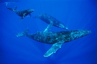 Humpback Whale, mother and calf, Megaptera novaeangliae, Pacific Ocean, Hawaii, USA