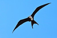 Great Frigatebird, Fregata minor, Big Island, Hawaii, USA