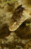 Dice Snake under water, Natrix tessellata, Italy