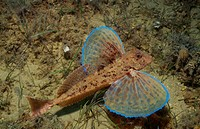 Streaked gurnard, Trigloporus lastoviza, Adriatic sea Mediterranean sea, Croatia
