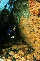 Scuba diver with colorful corals in the atlantic ocean, Alcyonium digitatum, Atlantic Ocean, Norway