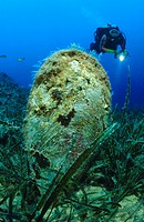 scuba diver with fan mussel in seagrass, Pinna nobilis, Adriatic sea Mediterranean sea, Croatia