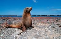 Galapagos Sea Lion, Zalophus wollebaeki Arctocephalus galapagoensis, Galapagos Pacific Ocean, Ecuador