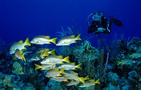Scuba diver with school of fish on colorful coral reef, Lutjanus apodus, Caribbean Sea, Cayman Islands