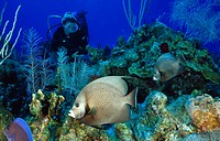 Scuba diver with angelfish on colorful coral reef, Pomacanthus arcuatus, Caribbean Sea, Cayman Islands