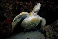 Green sea turtle, Chelonia mydas, Red Sea, Egypt