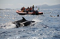Whale Watching Boat with Atlantic Spotted Dolphins, Stenella frontalis, Azores, Atlantic Ocean, Portugal