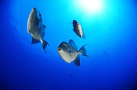 Grey Triggerfish, Balistes carolinensis, Azores, Atlantic Ocean, Portugal