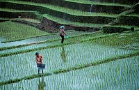 Farmer at Rice Field, Bali, Indonesia