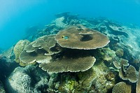 Pristine Table Corals in Bikini Lagoon, Bikini Atoll, Micronesia, Pacific Ocean, Marshall Islands