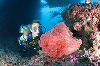 Red Soft Coral and Diver, Dendronephthya mucronata, Maya Thila, North Ari Atoll, Maldives