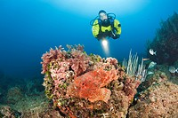 Scuba Diver and Great Rockfish, Scorpaena scrofa, Les Ferranelles, Medes Islands, Costa Brava, Mediterranean Sea, Spain