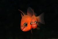 Mediterranean Cardinalfishes mating, Apogon imperbis, Triscavac Bay, Susac Island, Adriatic Sea, Croatia