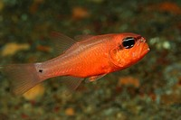 Mediterranean Cardinalfishes breed Eggs in Mouth, Apogon imperbis, Triscavac Bay, Susac Island, Adriatic Sea, Croatia