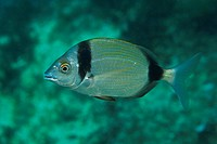 Two_banded Bream, Diplodus vulgaris, Susac Island, Adriatic Sea, Croatia