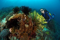 Crinoids and Diver, Alor, Lesser Sunda Islands, Indo_Pacific, Indonesia