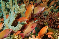 Lyretail Anthias, Pseudanthias squamipinnis, Alor, Lesser Sunda Islands, Indo_Pacific, Indonesia