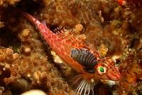 Isopod Parasit on Pixy Hawkfish, Nerocila acuminata, Cirrhitichthys oxycephalus, Alor, Lesser Sunda Islands, Indo_Pacific, Indonesia