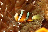 Clarks Anemonefish, Amphiprion clarkii, Alor, Lesser Sunda Islands, Indo_Pacific, Indonesia