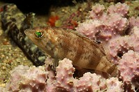 Brown Comber, Serranus heatus, Kas, Mediterranean Sea, Turkey
