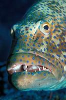 Red Sea Leopard_Zackenbarsch, Plectropomus pessuliferus marisrubri, Nuweiba, Sinai, Red Sea, Egypt
