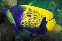 Blue_girdled Angelfish, Pomacanthus navarchus, Bunaken, Sulawesi, Indonesia