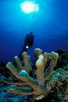 Diver and Antler Coral, Pocillopora eydouxi, Bunaken Nationalpark, Sulawesi, Indonesia