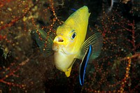 Cleaner Wrasse cleaning Golden Damsel, Labroides dimidiatus, Amblyglyphidodon aureus, South Pacific, Solomones Islands