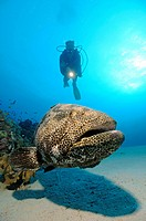 Giant Grouper and Diver, Epinephelus microdon, Shab Sharm, Red Sea, Egypt