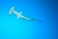 Scalloped Hammerhead Shark, Sphyrna lewini, Cocos Island, Costa Rica