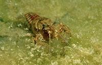 crayfish, Astacus astacus, Steiermark Gruener See, Austria